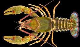 巨型淡水龙虾  免费编辑   添加义项名