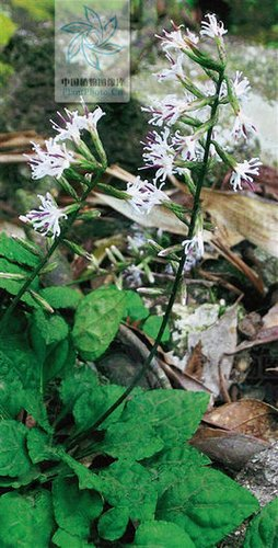 紫枝兔儿风ainsliaea smithii