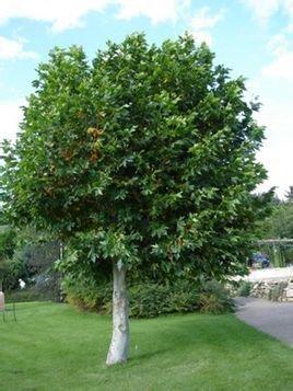 别名英国梧桐,槭叶悬铃木,落叶大乔木,高30余米,树皮光滑,嫩枝密生图片
