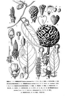 松木质部横切手绘图