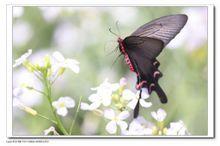 麝凤蝶 合欢Albizzia julibrissin、粉叶羊蹄甲Bauhinia glauca ...