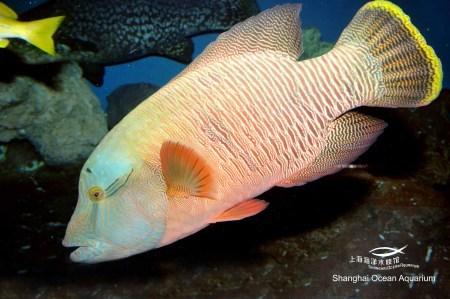 海产鱼_苏眉是一种名贵的海产鱼,生活在有岩礁石和珊瑚礁的海域中,体色会随着