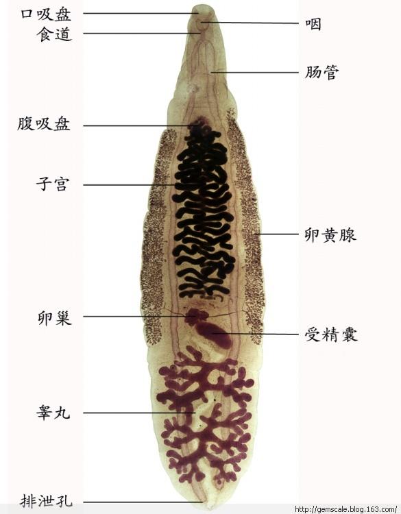 是一类成虫寄生于海栖哺乳动物,幼虫寄生于某些海栖鱼类的线虫.