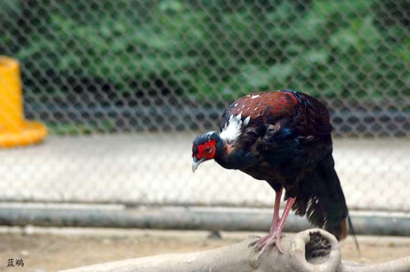新西兰著名动物 孔雀