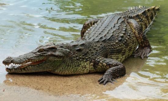 鳄鱼属脊椎类爬行动物